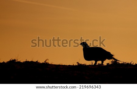 Greater Sage Grouse, Centrocercus urophasianus endangered / threatened species skyline silhouette sunrise / sunset image with room for text / copy upland game bird hunting in the western United States - stock photo