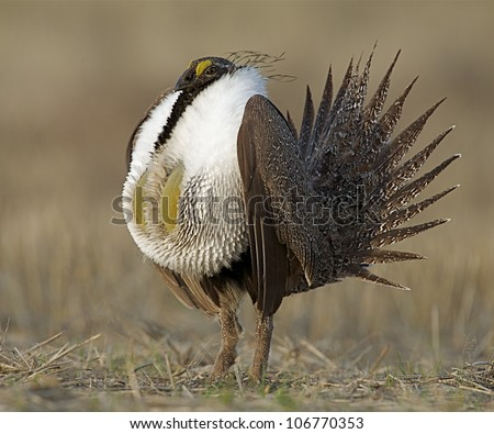 Greater Sage Grouse standing upright during mating display / posturing - stock photo