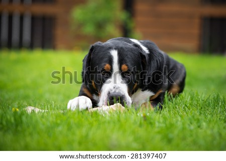 greater swiss mountain dog - stock photo