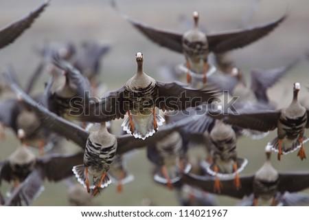 Goose Hunting Logos The Flush Goose Hunting