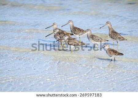 Greater Yellowlegs Birds on the Beach - stock photo