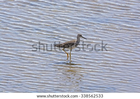 Greater Yellowlegs in Potter Marsh near Anchorage Alaska - stock photo