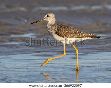 Greater yellowlegs (Tringa melanoleuca) wading in the shallow water of tidal marsh, Galveston, Texas, USA - stock photo