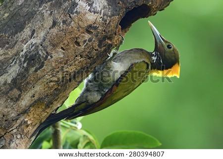 Greater Yellownape - stock photo