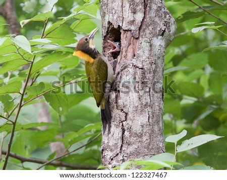 Greater Yellownape (Picus flavinucha) feeds food for her chicks, Thailand - stock photo