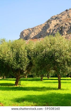 Greece, Rhodes olive grove - stock photo