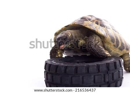 Greek land tortoise, Testudo Hermanni, white studio background - stock photo