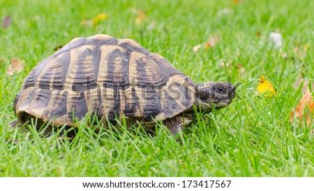Greek tortoise - stock photo