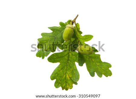 Green acorn on a white background - stock photo