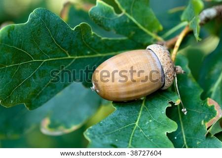 Green acorn on the tree - autumn motive - stock photo