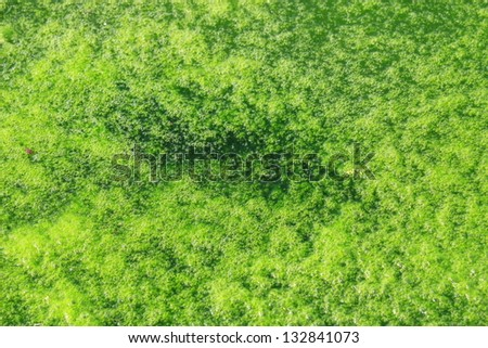 Green algae growing on the water's surface - stock photo