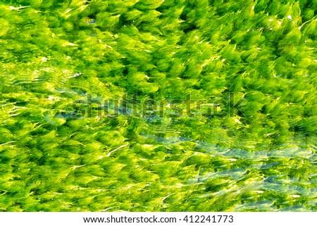 Green algae in water, background - stock photo