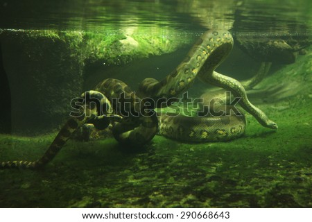 Green anaconda (Eunectes murinus) swimming underwater. Wildlife animal.  - stock photo