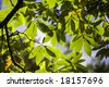 green and brown chestnut leaf on tree against blue sky - stock photo