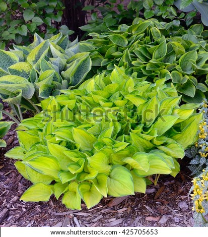 Green and Gold Variegated Hostas, Hostas are Perennial Plants That Grow in Shady Areas - stock photo