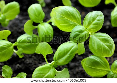 Green and healthy Genovese basil (Ocimum basilicum) seedling plant growing in organic garden soil close up - stock photo