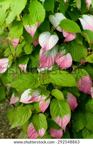 green and pink leaf actinidia  - stock photo