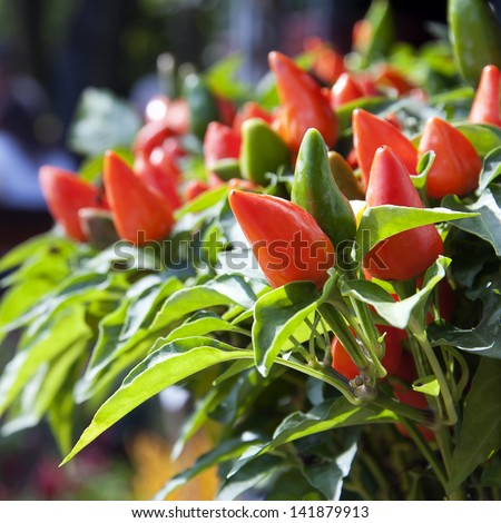 Green and red chilli peppers growing. - stock photo