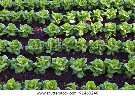 green and red lettuce field growing at soil - stock photo