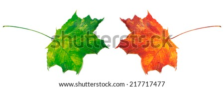 Green and red maple-leafs isolated on white background - stock photo