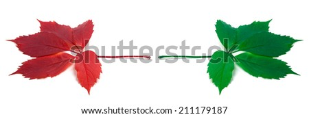 Green and red virginia creeper leafs. Isolated on white background - stock photo