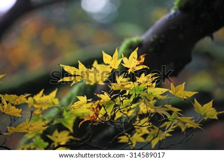 Green and yellow maple leaves changing color - stock photo