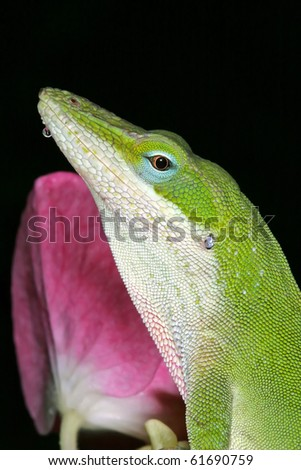 Green Anole and Single Hydrangea - stock photo