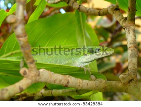 Green Anole, Anolis carolensis - stock photo