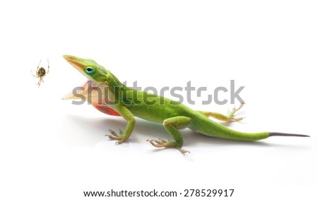 Green Anole Lizard About To Eat a Garden Spider on White - stock photo