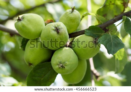 Green apples grow on apple tree branch with leaves under sunlight closeup. Ripe apples on the tree in nature/Apple growing on tree in garden.Apples on a branch - stock photo