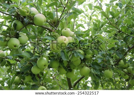 Green Apples Growing on an English Orchard Tree. - stock photo