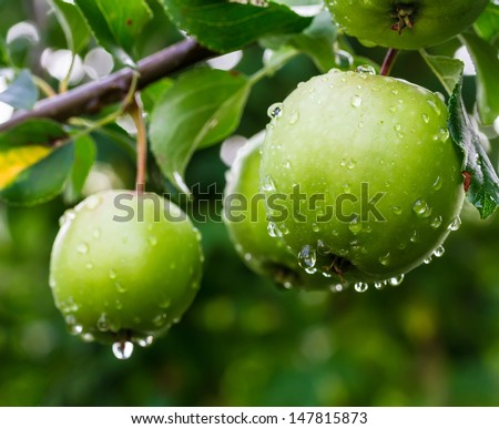 Green apples on a branch in a garden - stock photo