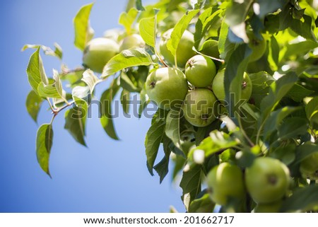 Green apples on tree brunch in the garden - stock photo