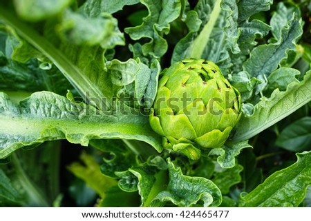 Green artichoke plant - stock photo