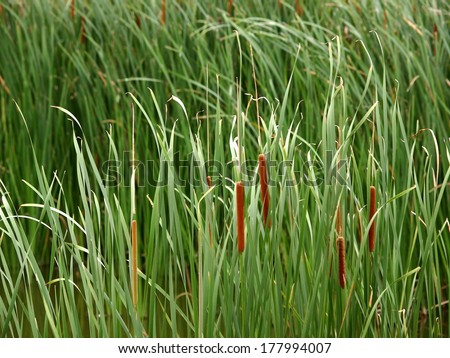 green asian tropical wetland water plants, Typha angustifolia in a natural pond blowing in the wind reflecting sunlight on their long leaves showing pure and free emotion  - stock photo