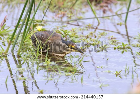 Green backed heron carefully hunting for fish in shallow water - stock photo
