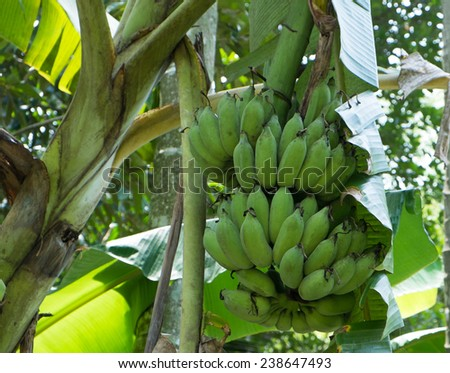 green banana - stock photo