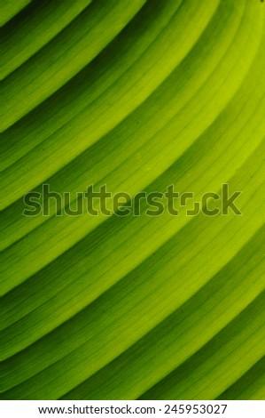 Green banana leaf - stock photo