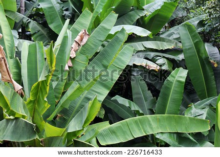 green Banana leaf in nature - stock photo