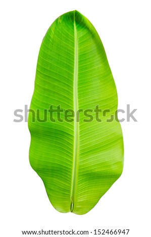 green banana leaf isolated on white background - stock photo