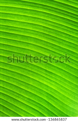 Green banana leaf texture background - stock photo