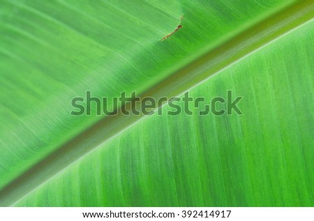 green banana leaves close up background with copy space - stock photo