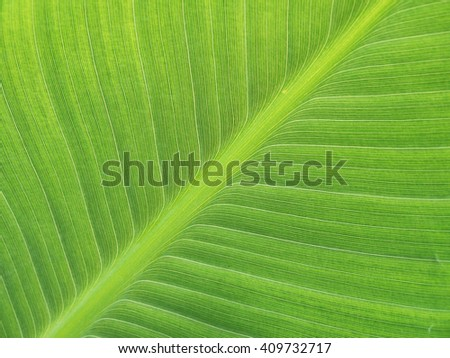 Green banana leaves use for the background - stock photo