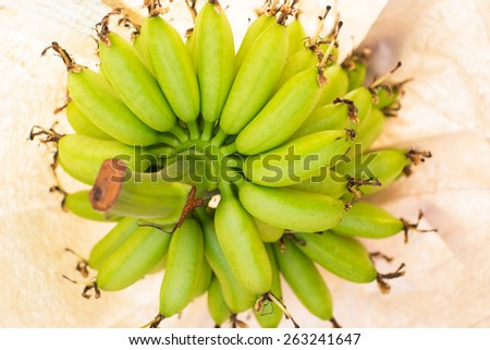 Green bananas in plastic ripening bags on tree - stock photo