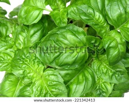 Green basil leaves - stock photo