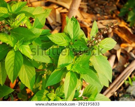 green basil leaves ready to taste the tasty kitchen recipes, Thai Basil (Ocimum basilicum Linn) - stock photo