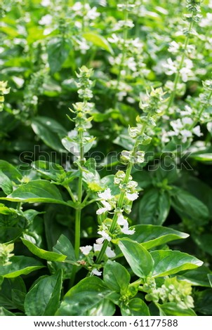 Green basil plants with little white flowers (selective focus on few flowers) - stock photo