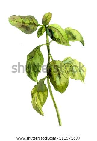 Green basil stem. Watercolor - stock photo