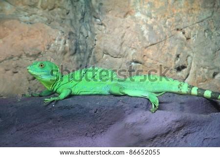 Green Basilisk Lizard (Basiliscus plumifrons) on the rock - stock photo