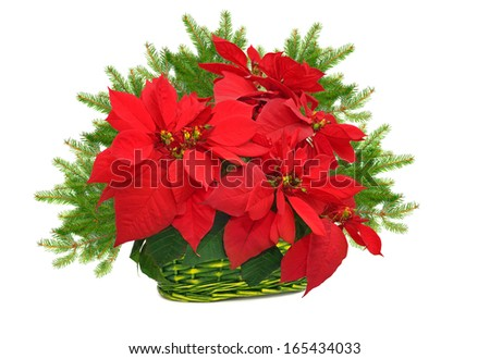 green basket with poinsettia. red christmas flower and christmas tree branch on white background  - stock photo